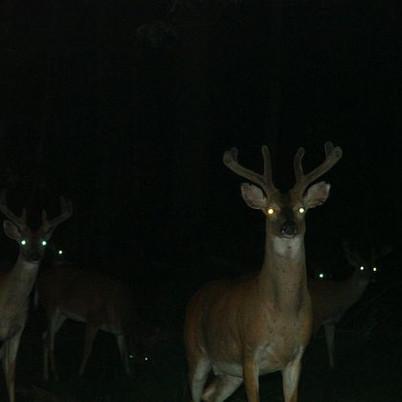 Deer in the Woods by Lucy McClellan