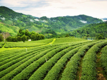 What is Organic Assam Tea ? All you need to know