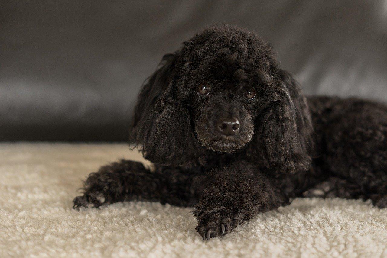 dwarf-poodle-black-3294512_1280