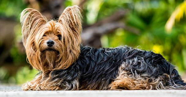 yorkshire-terrier-361730_1920.jpg
