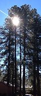 flagstaff trees.JPG