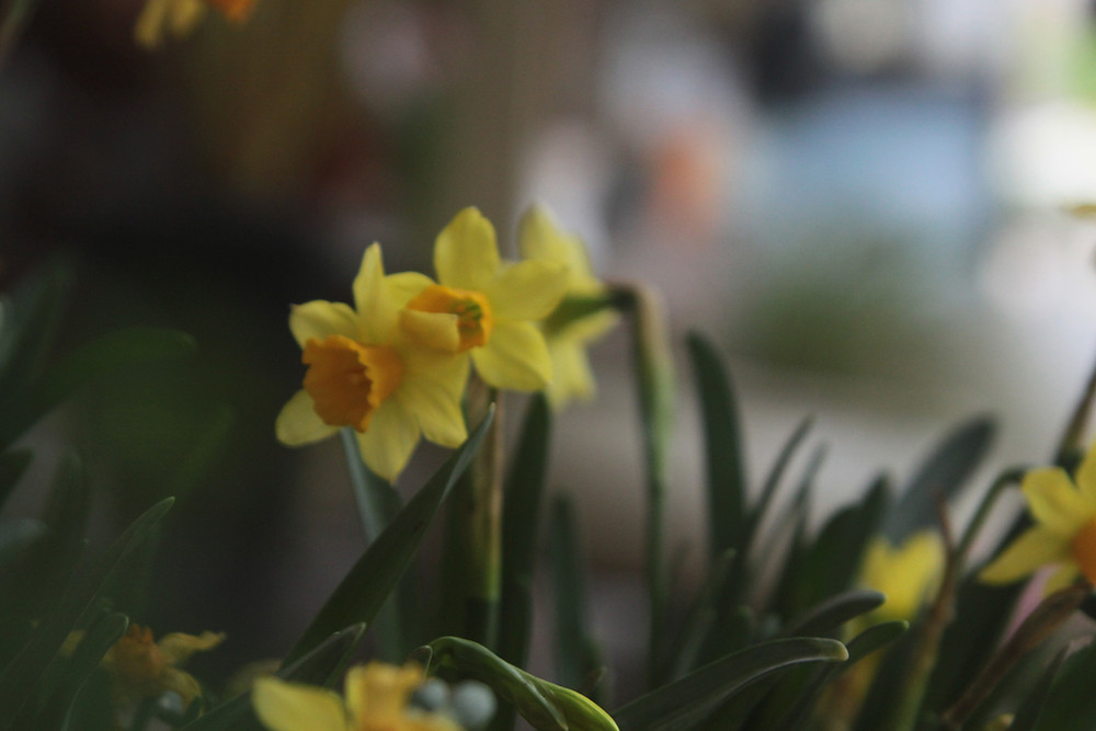 When all at once I saw a crowd, a host of golden daffodils
