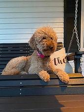 Goldendoodle on porch