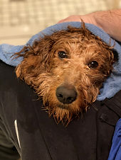Goldendoodle Bath