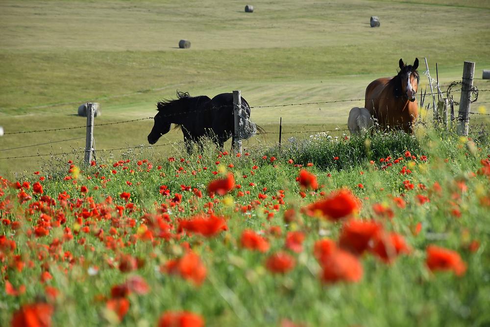 cavalli in un campo di papaveri a Castelluccio di Norcia
