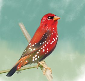 The Strawberry Finch