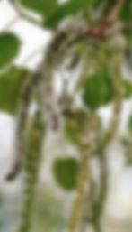 Unlabeled Aspen.jpg