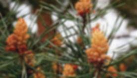 Unlabeled Pine.jpg