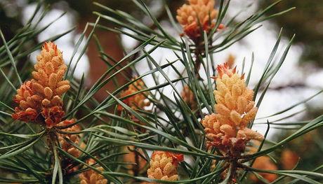 Unlabeled Pine