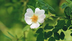 Unlabeled Wild Rose