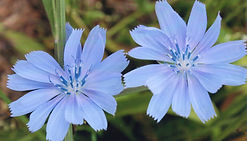 Unlabeled Chicory