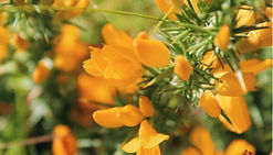Unlabeled Gorse