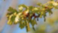 Unlabeled Oak.jpg