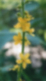 Unlabeled Agrimony.jpg