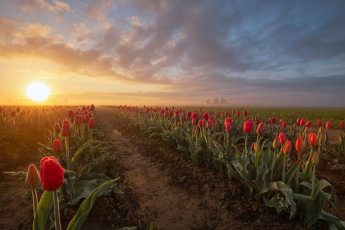 tulipwide.jpg