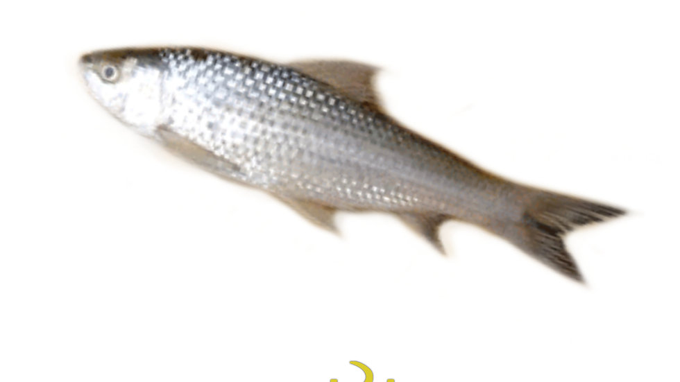 Bata fish, 250gm