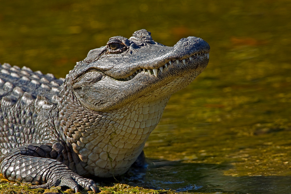 Picture-Of-Alligator.jpg