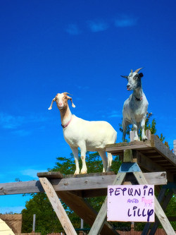 Our goats, Lilly and Petunia