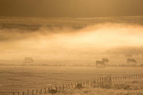 Aubracs dans la brume