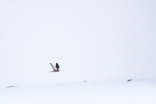 Rase-motte du faucon