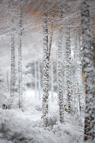 Zébrage hivernal