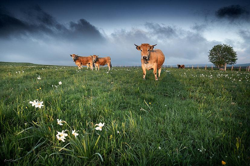Vaches et narcisses