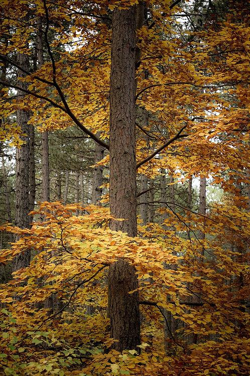 Entre pins et feuillus