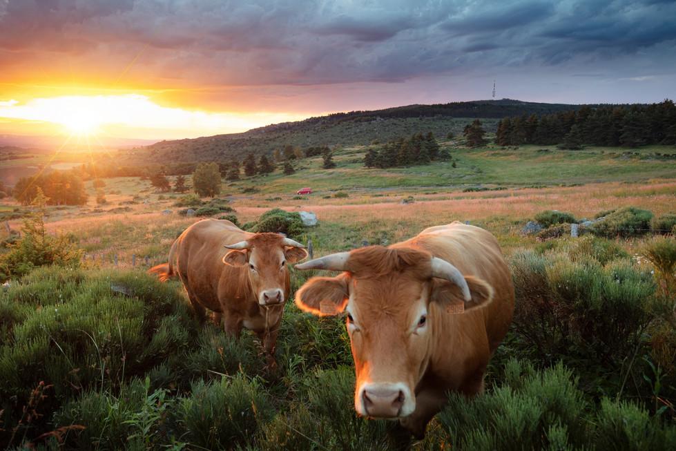 Vaches Margeride.jpg