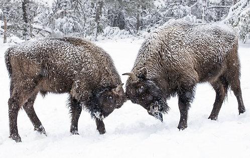 Jeunes bisons