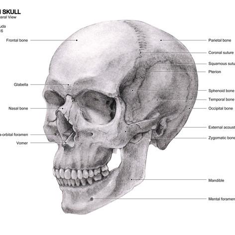 Human Skull (2016)