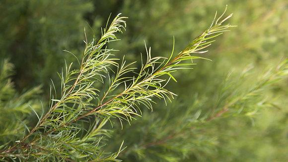 Organic Tea Tree Deodorant