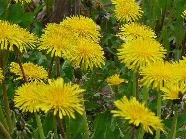 Organic Dandelion Salve