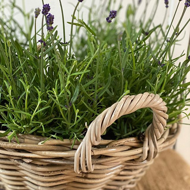 Outdoor Lavender Baskets £45 each