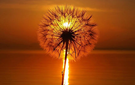 dandelion in seed in front of sunset stock image