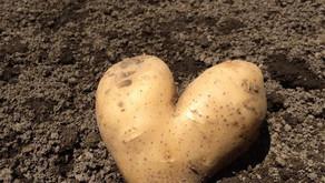 coltivare le patate in casa