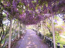 夢幻紫藤.jpg