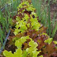 salad mix in leeks.jpg