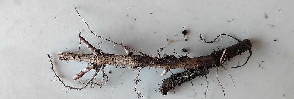 AlphAroma (Rakau) Rhizome - Regular Size