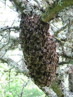 un essaim d'abeilles dans un arbre