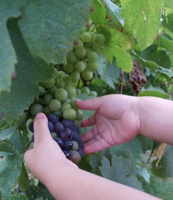 Les petites mains de notre apprentie-experte-vigneronne montre une grappe dont la véraison est bien avancée