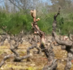 Cep le 5 avril : les bourgeons gonflent