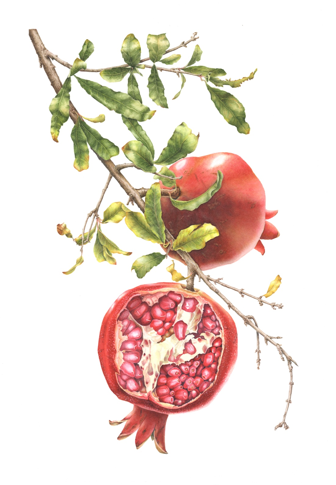 Pomegranates on Branch