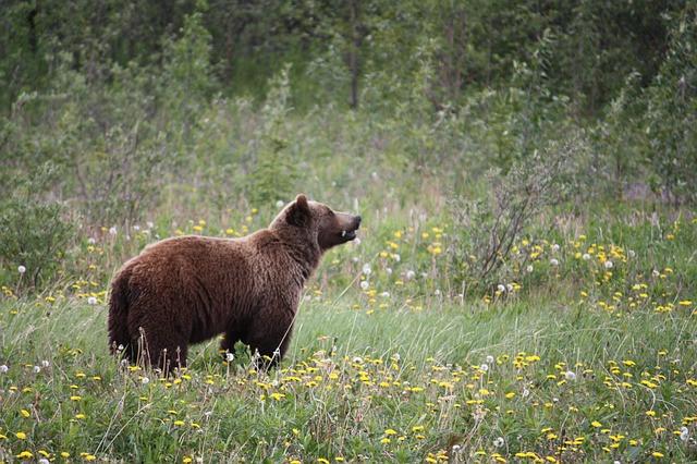 grizzly-bear-yukon-canada