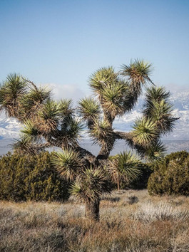 Joshua Tree Survival Threatened Due to Climate Change