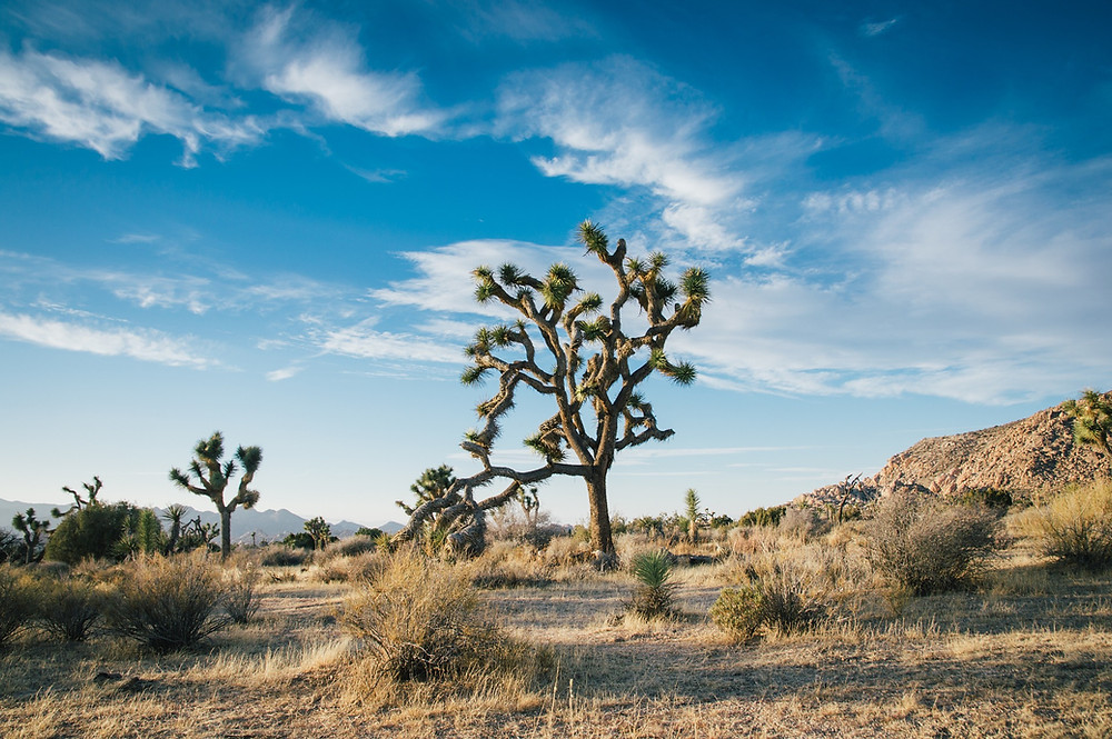 facts-about-the-joshua-tree