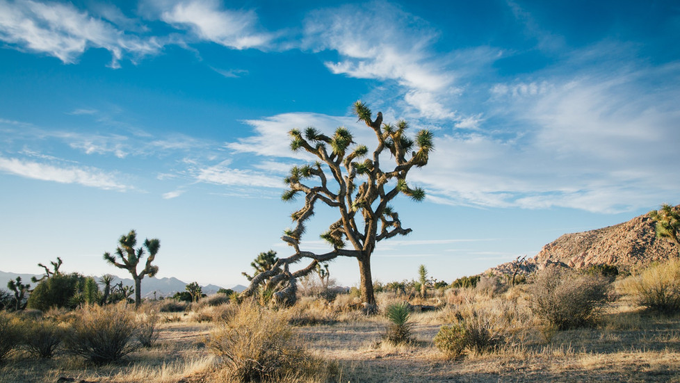 Facts About the Joshua Tree