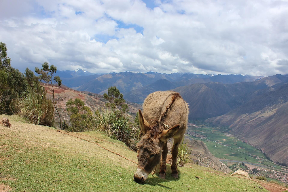 sacred-valley-peru-donkey