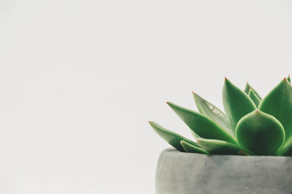 potted-succulent-plant