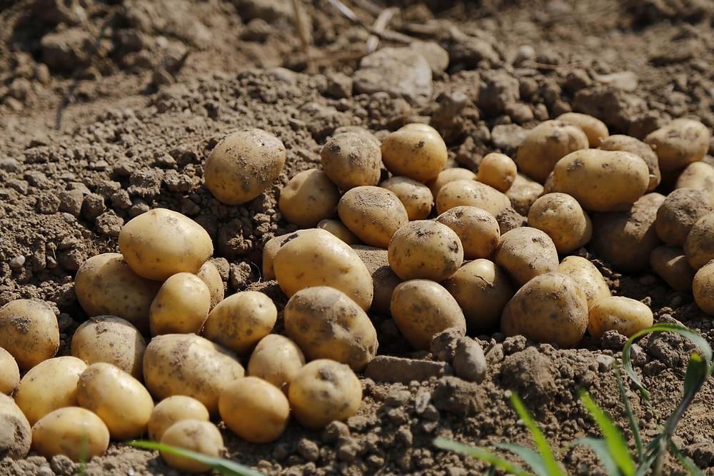 potatoes-in-earth