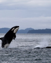 The Southern Resident Orcas, on the Road to Extinction